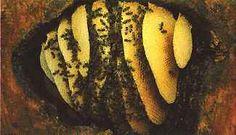 Wild honeybee hive