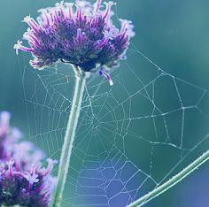 webbing purple...