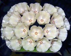 Hoya cystiantha