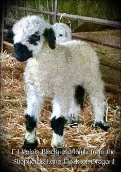 Barnyard Animals, Cute Animals, Valais Blacknose Sheep, Cute Sheep, Creature Comforts, Lambs, Animal Paintings, Rabbits, Goats