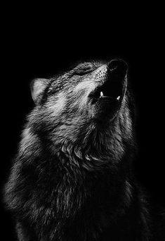 """""""How lonely is the night without the howl of the wolf. Wolf Spirit, My Spirit Animal, Beautiful Creatures, Animals Beautiful, Der Steppenwolf, Wolf Stuff, Wolf Love, Wolf Pictures, Beautiful Wolves"""
