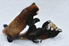 Wild Red Pandas playing   by: Josef Gelernter