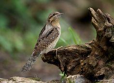 Draaihals (Van vroegevogels)