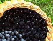 Wild blueberries aka bilberries