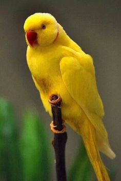 Indian Ringneck Parrot in Yellow; dnt like birds much, But this one is beautiful! Pretty Birds, Beautiful Birds, Animals Beautiful, Cute Animals, Kinds Of Birds, All Birds, Love Birds, Tropical Birds, Exotic Birds