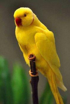 Indian Ringneck Parakeet - ©Enoch Law (eytl)  www.flickr.com/photos/eytl/6090650772/