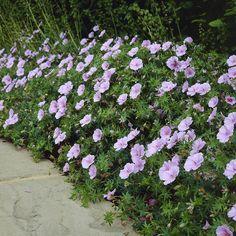 Geranium sanguineum Striatum - 1 plant Buy online order yours now