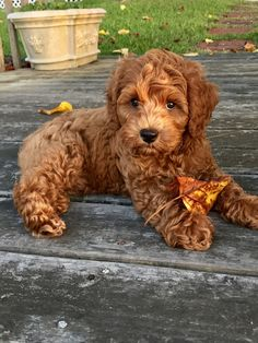 Good Photo dogs and puppies labradoodle Popular Carry out you adore your canine? Suitable dog health care in addition to exercisi Chien Goldendoodle, Cavapoo Puppies, Goldendoodles, Labradoodles, Maltipoo, Puppies Puppies, Puppys, Cute Dogs And Puppies, I Love Dogs