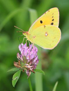 luzerne vlinder Awesome ;)
