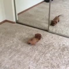 Cheddar meets Cheddar Cheddar funny meets is part of Cute animals - Cute Funny Animals, Cute Baby Animals, Funny Dogs, Animals And Pets, Cute Cats, Funny Dachshund, Dachshund Puppies, Cute Puppies, Dogs And Puppies