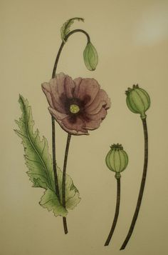 great line drawing of poppy flower elements