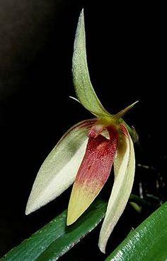 Bulbophyllum hamadryas