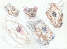 cabezas-felidos, cheetah-anatomy-sketch-Smilodon hunting sequence sketch 1, Artist Sketchbooks , Study Resources for Art Students CAPI ::: Create Art Portfolio Ideas at milliande.com, Art School Portfolio, Sketchbook, How to Draw Animals, Sketching, Animals, Cat, Animal Anatomy