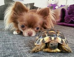 my dream <3 a long haired chihuahua and a tortoise