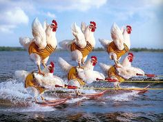 Skiing Chickens Wallpaper from Funny pictures! A weird concept of skiing chickens, funny pic. Pet Chickens, Chickens Backyard, Raising Chickens, Chicken Race, Chicken Coops, Funny Animals, Cute Animals, Chicken Humor, Funny Chicken