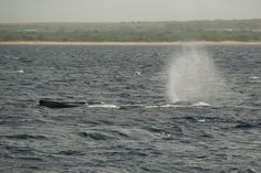 Hawaii Fact 49 Of 50: Hawaii's Winter Guests — Humpback Whales