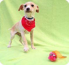 Burbank, CA - Chihuahua/Jack Russell Terrier Mix. Meet Dallas, a puppy for adoption. http://www.adoptapet.com/pet/14682685-burbank-california-chihuahua-mix