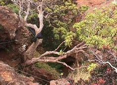 Dendroseris Neriifolia *Sólo existe una en el mundo. *Hábita en Chile