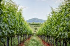 Early Mountain Vineyards. Weddings. Events. Restaurant. Wine Tasting. Winery. Blue Ridge Mountain views. Located 30 minutes from Charlottesville, Virginia, off of Highway 29.
