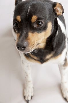 Sweet Rat Terrier