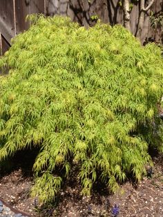 green laceleaf japanese maple