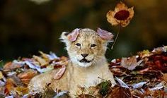 Image result for picture of lion in spring