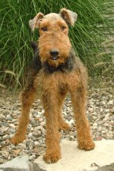 Warsteiner is an adoptable Airedale Terrier Dog in Mishawaka, IN. Warsteiner was pulled from a kill shelter in Kentucky. He has been wonderful. He is not hyper & crates well for us at night. Great wit...