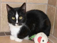 PetHarbor.com: Candy Barr, spayed female about 4 months old at Iredell Co. Animal Services and Control Dept., Statesville, NC