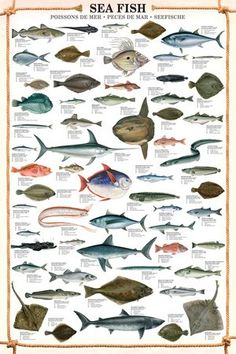 HUGE LAMINATED/ENCAPSULATED Sea Fish POSTER measures approx 36x24 inches (91.5x61cm)
