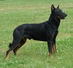 Haunter, the Beauceron at 2 years old. (Wandering Spirit Vom Wildweg ...