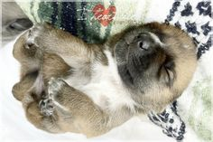 I {heart} newborn puppies... how sweet can it get...like mini-baby-bears