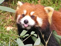 Most adorable red panda bear wrestling, feeding, eating and funny plays in zoos - YouTube