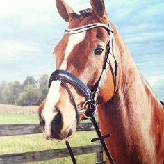 Rossner Versailles Jubileum hoofdstel. I.v.m. 85 jarig bestaan hebben we dit speciale hoofdstel laten maken. Horse Bridle, Versailles, Horses, Couture, Animals, Animales, Animaux, Animal, Haute Couture
