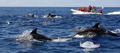 Une expérience inoubliable pour toute la famille ! La découverte des dauphins et d'autres espèces maritimes sauvages, comme la baleine, qui vivent dans notre océan est une activité proposée sur l'ensemble de la côte de l'Algarve (Portugal). ...