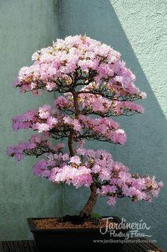 Hermosa Azalea Bonsai - http://jardineriaplantasyflores.com/fotos/hermosa-azalea-bonsai/