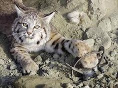 In California, it is still legal to trap and kill an unlimited number of bobcats during the trapping season each winter. The rising overseas demand for bobcat pelts, particularly in China and Russia, is driving up fur prices and causing a boom in bobcat trapping in California, including on the boundaries of national parks.