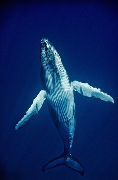 Humpback Whale Ascent by C. Kornylak, via Flickr
