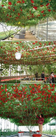 Giant Tomato Tree... I want to know where to get this sucker from!! I would do nothing but coddle it so I could have as many tomatoes as possible for salsa canning!!