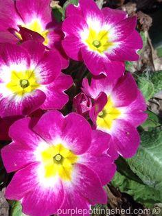 Primula have opened!  www.purplepottingshed.com