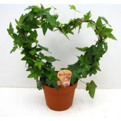 Wonderful Ivy Plant in a Heart Shape -Evergreen indoor pl.