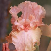 Blushing Kiss Bearded Iris