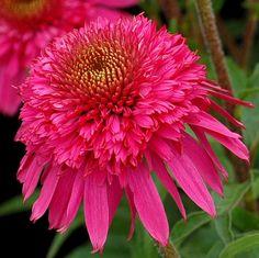 Echinacea 'Secret Affair', Coneflower 'Secret Affair', Pink coneflower, Pink coneflowers, Pink Echinacea, Double coneflower, Double coneflowers, Double Echinacea, Coneflower, Coneflowers