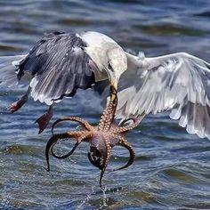 Herring Gull.  Octopus, it's what's for dinner.