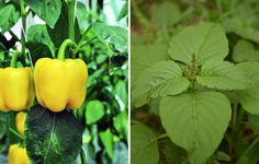 Companion Gardening Peppers and Pigweed or Ragweed *remove flowers from weed before the seeds spread - These species simply belong together. Hydroponic Gardening, Organic Gardening, Container Gardening, Gardening Tips, Container Vegetables, Planting Vegetables, Growing Vegetables, Vegetable Gardening, Pepper Companion Plants