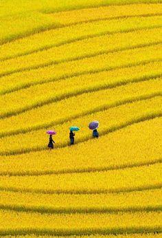 Campo de canola, no Vietnã.