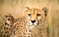 My Cousin the Cheetah: Evolution Made Her Accelerate Faster than a ...
