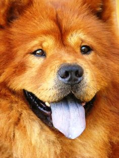 Chow-Chow by Andreza Perraro most-beautiful-things