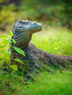 Discover the wild wild wildlife of #Indonesia#s Komodo National Park, one of our top 10 Asian destinations to visit in 2018! #BestinAsia #AsianTravel #Travel
