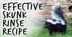 Discover the three ingredients that you can use to create a skunk smell rinse that will help you get rid of the foul odor on your pets better than tomato juice. http://healthypets.mercola.com/sites/healthypets/archive/2011/07/12/far-better-than-tomato-juice-as-a-skunk-rinse.aspx