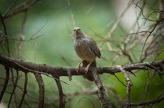 Jungle Babbler by Gunashekar S on 500px #bird